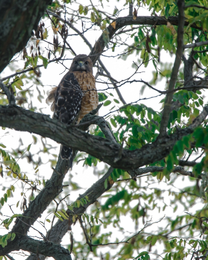 Red shouldered hawk Croton-1