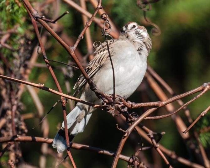 lark sparrow cute croton-4