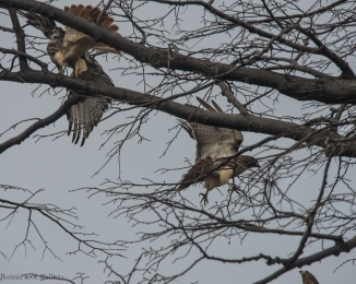 red-tails X three croton-1