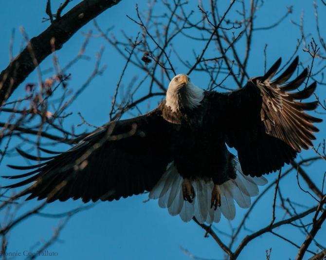eagle adult takeoff Tompkins Cove-1