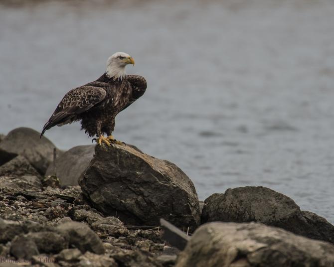 eagle classic rock pose Croton-1