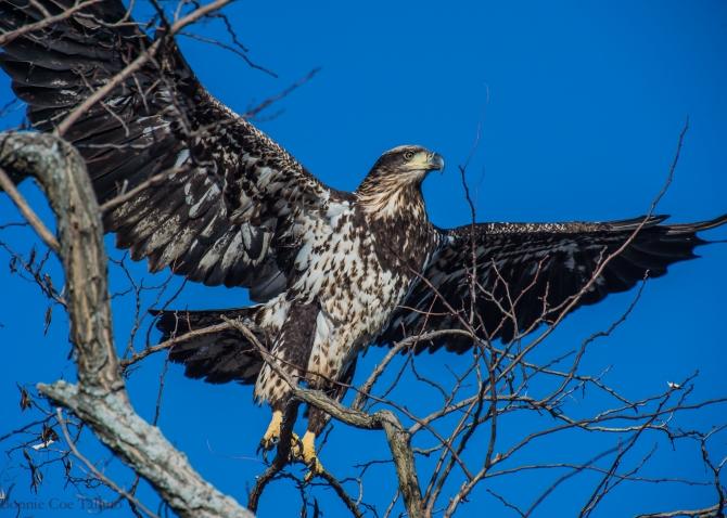 eagle immature takeoff Haverstraw-1