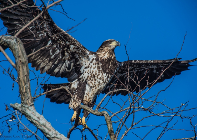 eagle immature takeoff Haverstraw-1