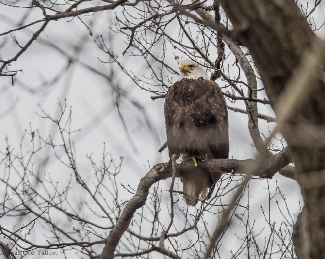 eagle matriarch Hudson-1