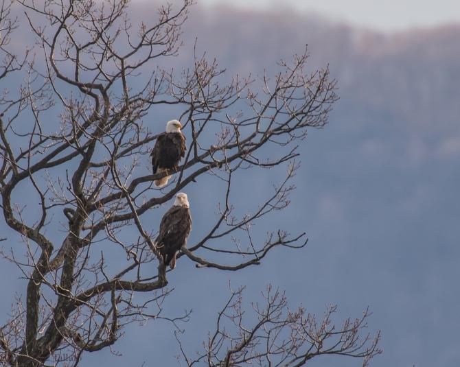 eagle pair Verplanck Z-2??-1