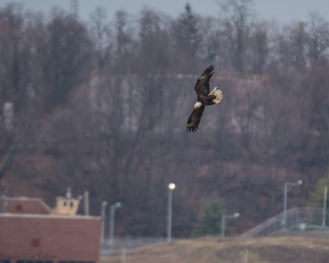 eagle plunge Hudson River-1