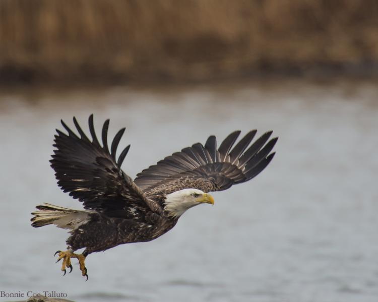 eagle takeoff croton sandspit-1
