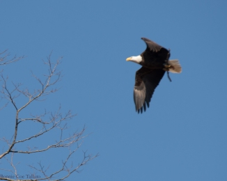eagles rebuilding nest annsville-2