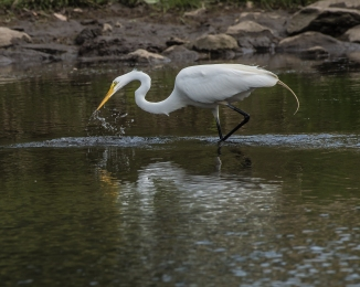 20160702_egret catching alewife Thornwood_001