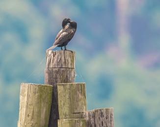 20160711_cormorant Ossining_002