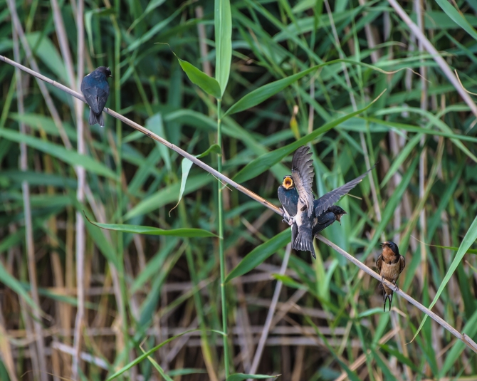 20160715_swallows DeKorte_001