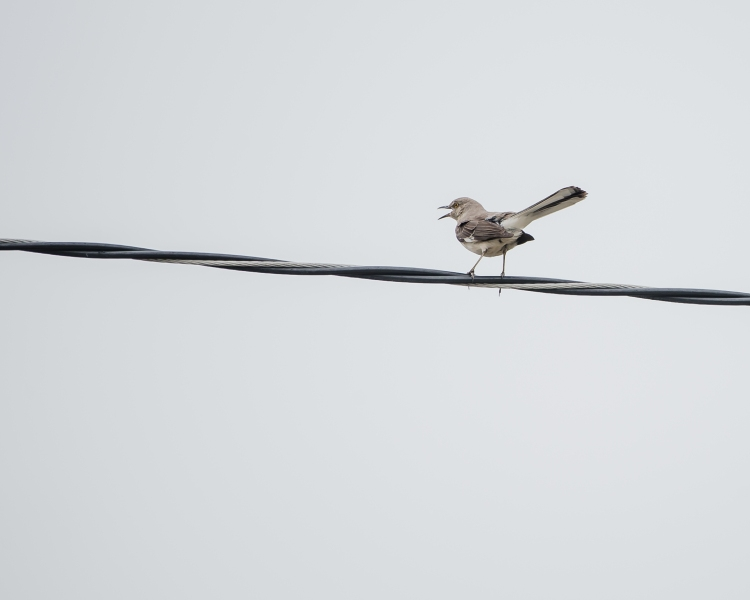 20160628_mockingbird-on-wire-croton_001