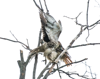 20160901_red-tailed-hawks-ossining_001