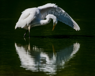 20160915_egret-performing-swan-lake-thornwood_001