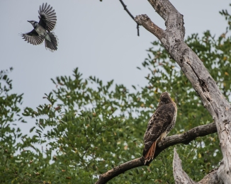 20160923_red-tailed-hawk-attacked-by-blue-jay-croton_001