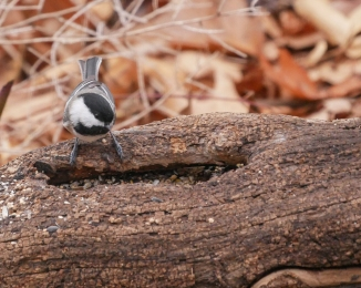 20161120_chickadee-at-log-croton-_001