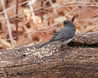20161120_junco-croton_001