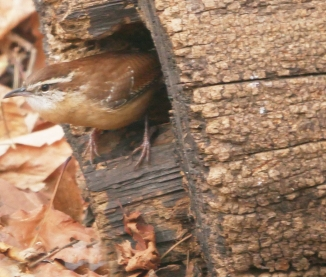 20161203_carolina-wren-at-log-croton_001
