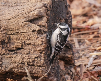 20161210_downy-woodpecker-on-log-croton_001