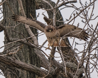 20161222_red-tailed-hawk-balance-croton_001