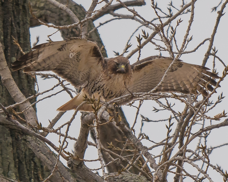 20161222_red-tailed-hawk-nest-building-croton_001