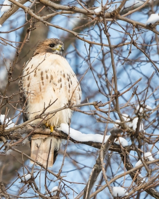 20170108_red-tailed-hawk-male-in-snow_001