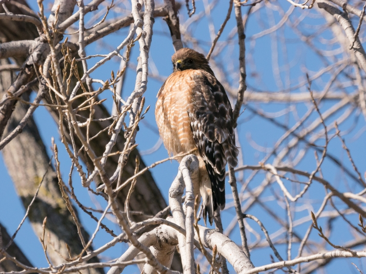 20170204_red-shouldered-hawk-croton_001