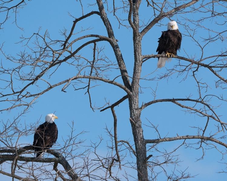 20170210_eagle-pair-verplanck_001