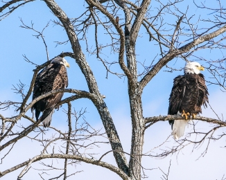 20170210_eagle-pair-verplanck_002