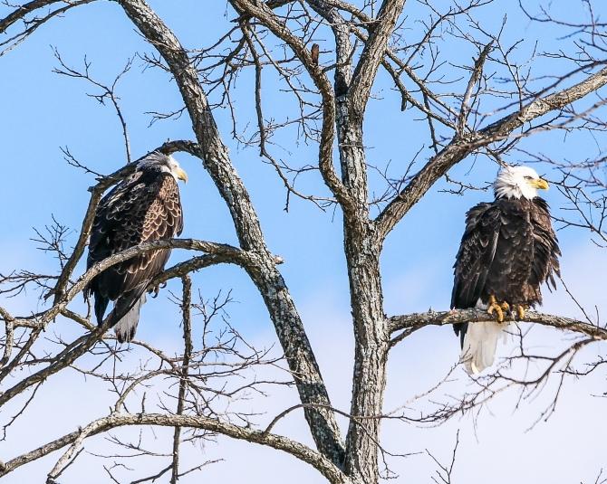 20170210_eagle-pair-verplanck_002