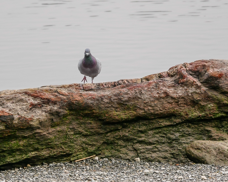 20170211_dont-let-the-pigeon-use-the-camera_001