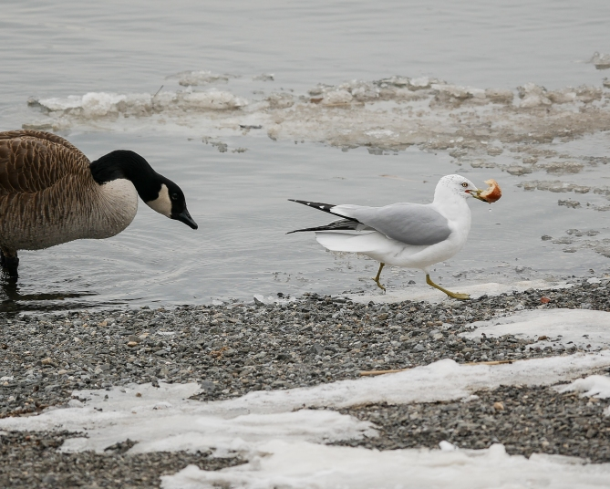 20170211_goose-and-gull-show-down-at-croton_001