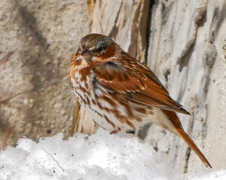20170316_fox sparrow croton_001