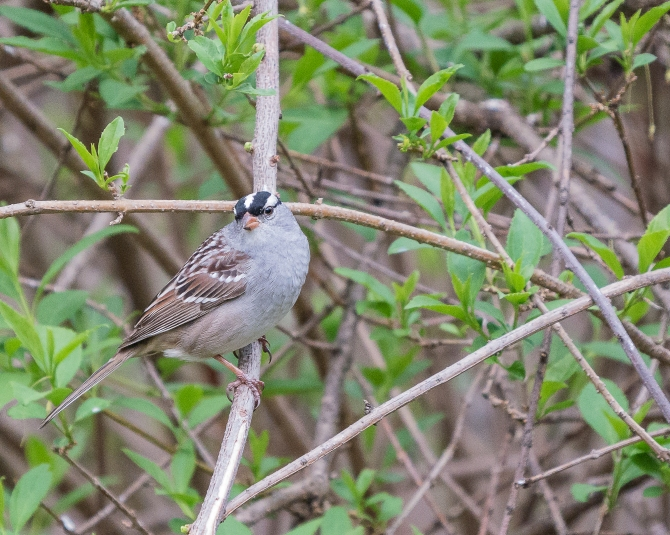 20170501_sparrow, white crowned ossining backyard_001