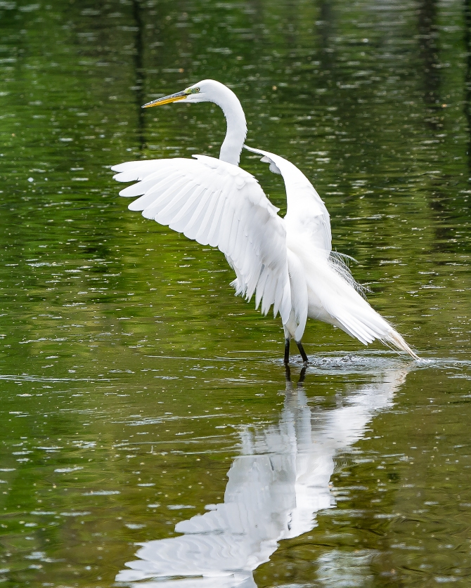 20170502_egret great white thornwood_001
