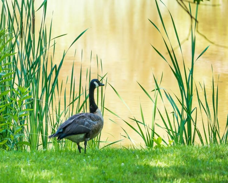 20170720_geese vets park ossining_002