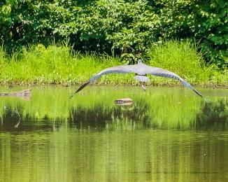 20170720_heron vets park ossining_002