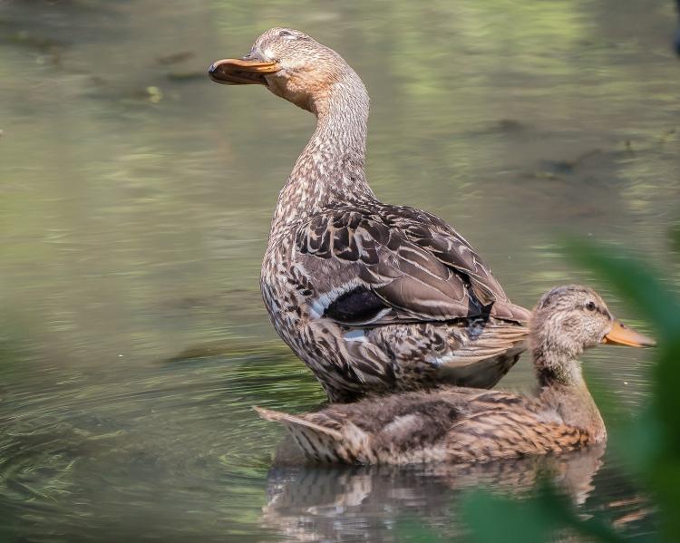 20170720_mallard and duckling vets park ossining_001