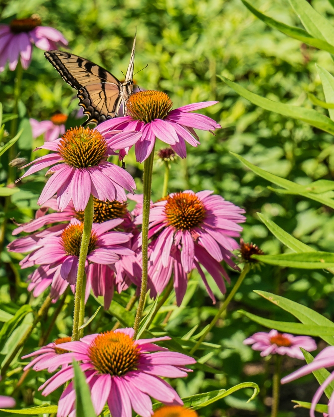 20170720_swallowtail on echinacea Rockefeller SPP_001