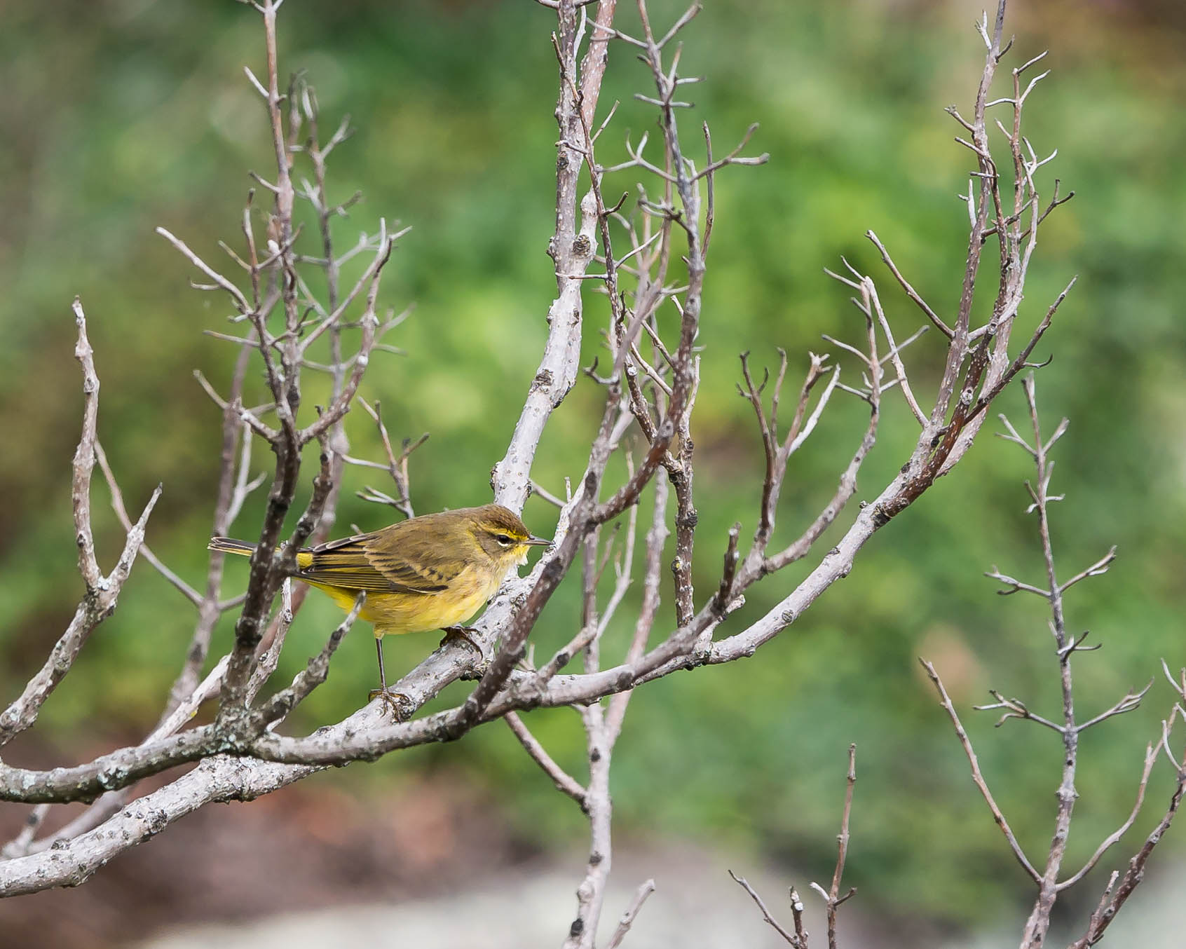20171013 palm warbler stateline _