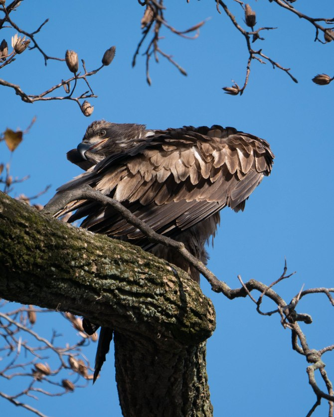 20171130 eagle first year in tree conowingo _-11