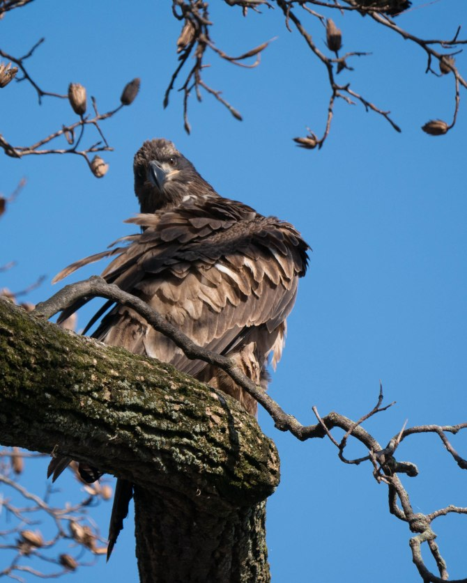 20171130 eagle first year in tree conowingo _-12