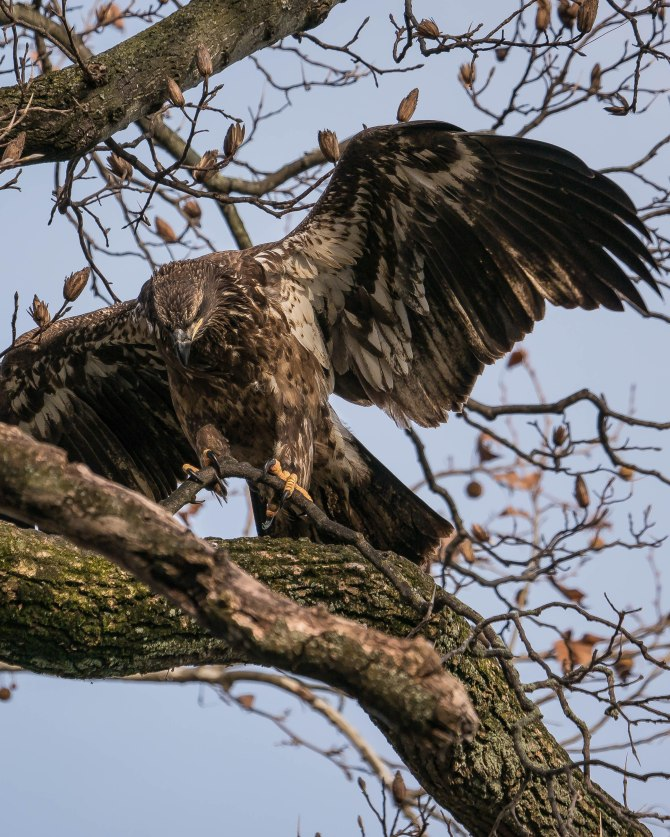 20171130 eagle first year in tree conowingo _-3