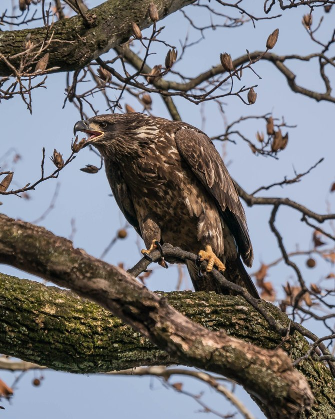 20171130 eagle first year in tree conowingo _-4