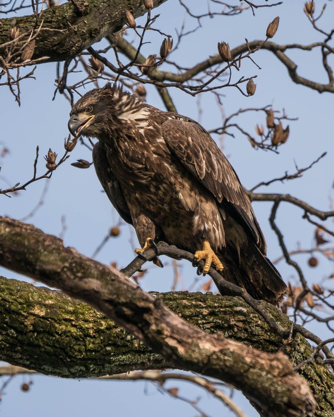 20171130 eagle first year in tree conowingo _-5