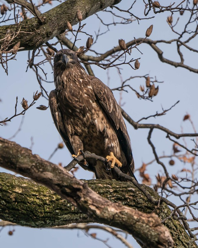 20171130 eagle first year in tree conowingo _-6