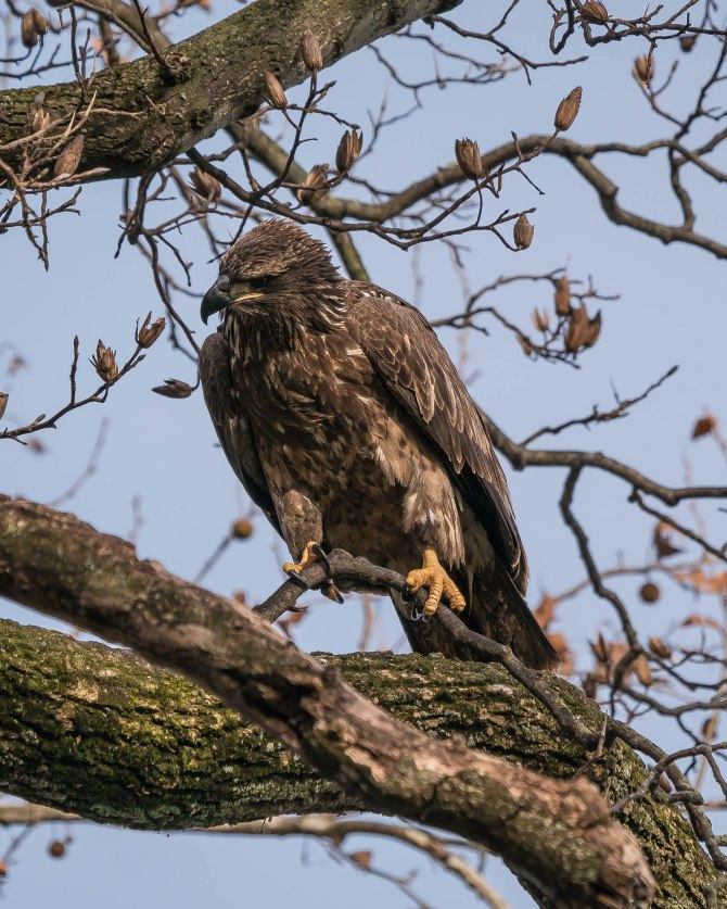 20171130 eagle first year in tree conowingo _-7