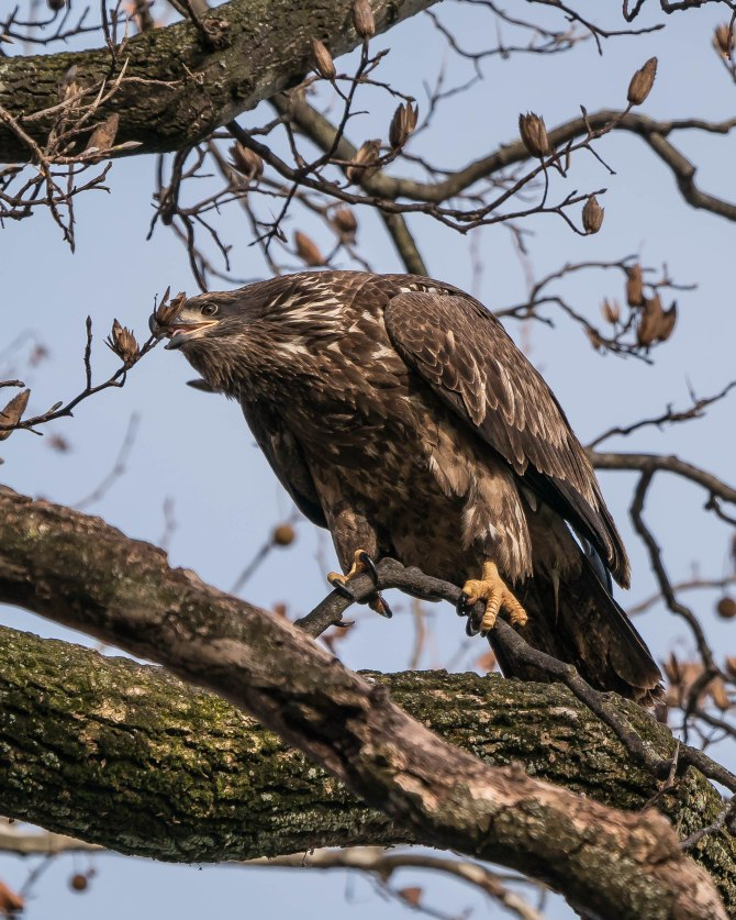 20171130 eagle first year in tree conowingo _-8