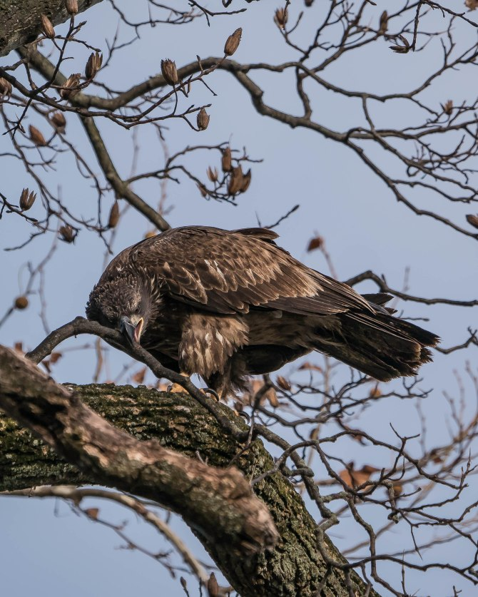 20171130 eagle first year in tree conowingo _
