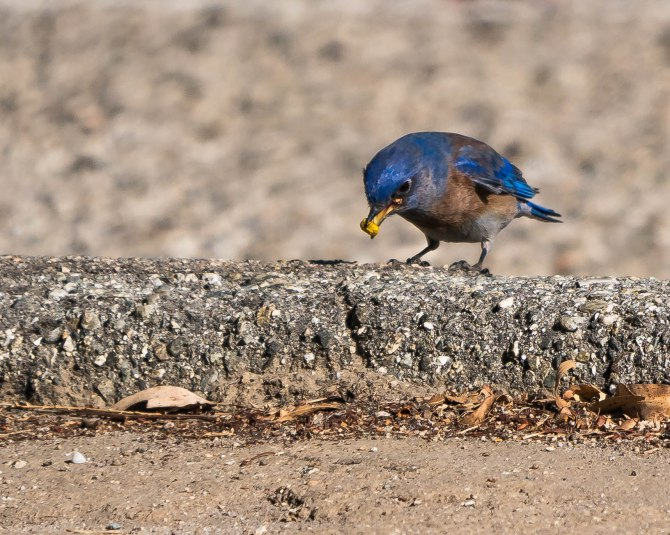 20171222 bluebird Lake Skinner CA _